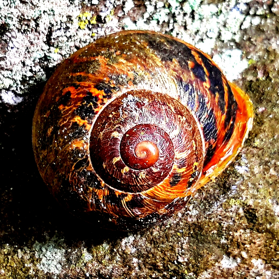 Celebrating the common species ~ Garden Snail
