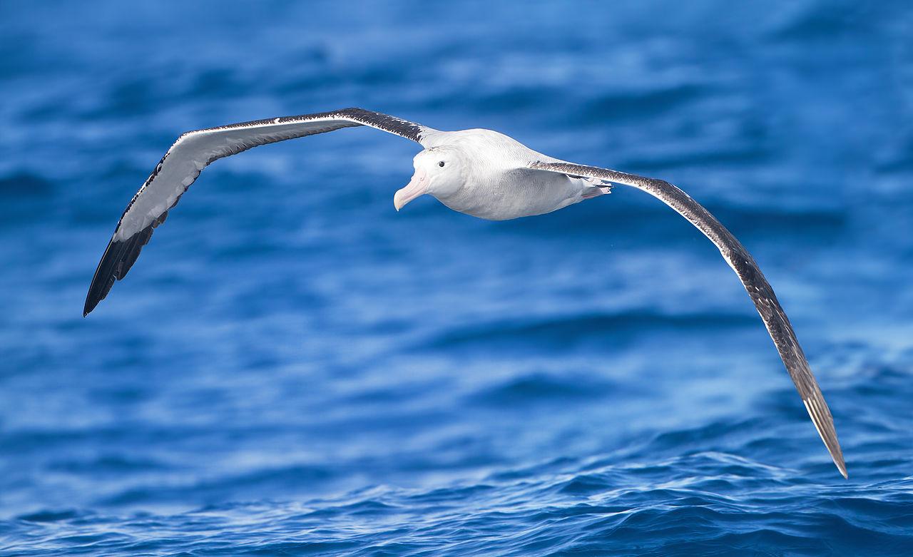 1280px-Diomedea_exulans_in_flight_-_SE_Tasmania